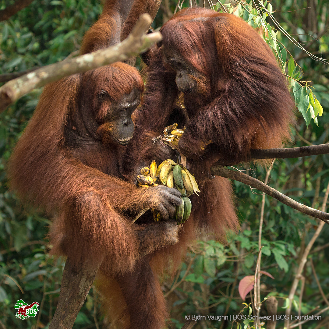 Two orangutans eating bananas